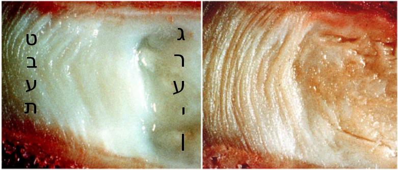 חתך צד של דיסק צעיר (משמאל) ודיסק זקן (מימין)